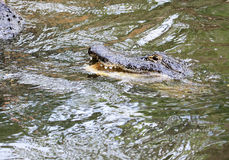 Wild alligator in water Stock Images