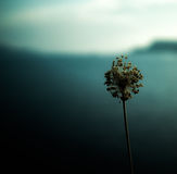 Wild Allium and Greek Island Stock Photography