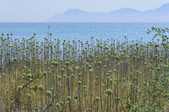 Wild Allium. Wild plant with green balls, probably some kind of Allium, by Alcudia bay, Majorca, Balearic islands, Spain Royalty Free Stock Image