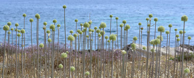 Wild Allium. Wild plant with green balls, probably some kind of Allium, by Alcudia bay, Majorca, Balearic islands, Spain Stock Photo