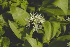 Allium ursinum flowers bloming among the green. Wild allium ursinum or bear`s garlic flower blooming in a springtime woodland royalty free stock photography