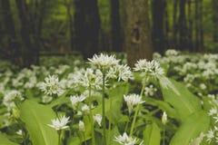 Allium ursinum flowers blooming in a springtime. Wild allium ursinum or bear`s garlic flower blooming in a springtime woodland royalty free stock photo
