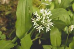 Detail of allium ursinum flowers blooming. Wild allium ursinum or bear`s garlic flower blooming in a springtime woodland stock image