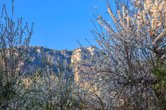 Wild almond thicket in blossom. Royalty Free Stock Photography