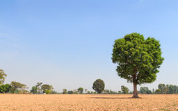 Wild Almond tree in plowing field Stock Photography