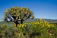 Wild aloe flowers Stock Image