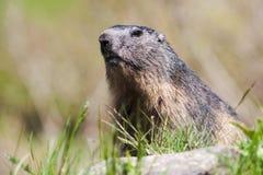 wild alpin marmot Arkivbild