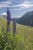 wild alpina blommor Royaltyfria Bilder