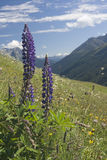 Wild Alpine Flowers Royalty Free Stock Images