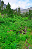 Wild alpine flowers and conifer forest in front of the  mountains of the glacier national park Royalty Free Stock Photo