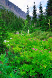 Wild alpine flowers and conifer forest in front of the  mountains of the glacier national park Royalty Free Stock Images