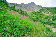 Wild alpine flowers on the Glacier National Park landscape. In summer Royalty Free Stock Image