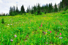 Wild alpine flowers on the Glacier National Park landscape. In summer Royalty Free Stock Images