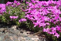 Wild alpine flowers. Wild pink alpine flowers growing on rock Royalty Free Stock Image