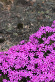 Wild alpine flowers. Wild pink alpine flowers growing on rock Stock Images