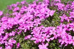 Wild alpine flowers. Wild pink alpine flowers growing on rock Royalty Free Stock Photography