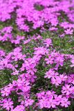 Wild alpine flowers. Wild pink alpine flowers growing on rock Stock Photos