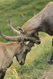 Wild alpine ibex - steinbock fight Stock Photo