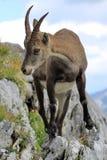 Wild alpine ibex - steinbock portrait Stock Photography