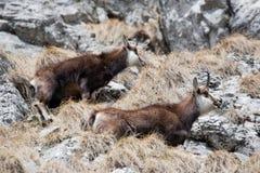 Wild alpine mountain goats Stock Photo