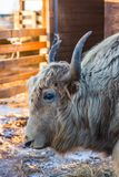 The wild altai yak Bos mutus, Altai, Russia royalty free stock photography