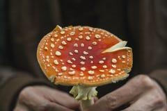 Wild amanita muscaria Royalty Free Stock Image