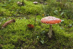 Wild amanita muscaria Stock Images