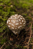 Wild amanita mushroom in a forest Royalty Free Stock Image