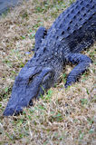 Wild American Alligator. This is a picture of a wild alligator Royalty Free Stock Photos