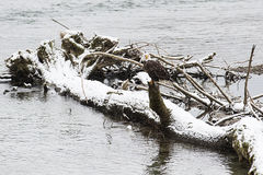 Wild American Bald Eagle sitting on a log on the Skagit River in Royalty Free Stock Photography
