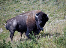 Wild American Bison Royalty Free Stock Photo