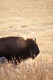 Wild american bison. In south dakota Stock Image