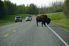 Wild american bison crossing road in Yukon stock photo