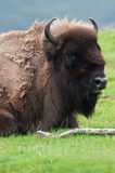 Wild American Bison Stock Image