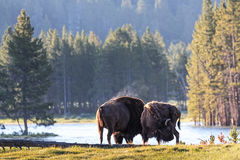 Wild American Bison at Sunrise Royalty Free Stock Image