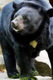 Wild american black bear Stock Image