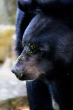 Wild american black bear Royalty Free Stock Photo