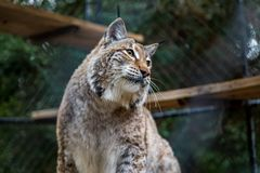 Wild American bobcat in a cage at a sanctuary. Wild American bobcat observing his surroundings in a cage at a sanctuary Stock Photo