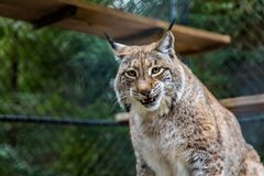 Wild American bobcat in a cage at a sanctuary. Wild American bobcat showing his teeth, looking straight into the camera in a cage at a sanctuary Stock Images