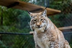 Wild American bobcat in a cage at a sanctuary. Wild American bobcat looking straight into the camera in a cage at a sanctuary Stock Image