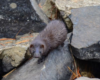 Wild American mink (mustela vison) Stock Photography