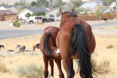Wild American mustang colt nursing from its mother. A wild American mustang colt with heart shaped blaze royalty free stock photo