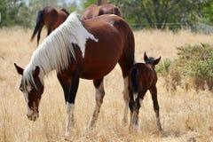 Wild American mustang horses herd with foal stock photos