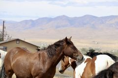 Wild American mustang horses in Nevada Royalty Free Stock Photos