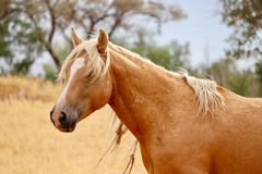 Wild American Palomino Stallion. In the high Sierra Nevada desert near Stagecoach. This handsome fellow was about to be a father and his mare and colt will also Stock Photos