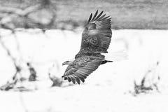 Wild Amerikaans Kaal Eagle tijdens de vlucht over de Skagit-Rivier in Was Stock Foto
