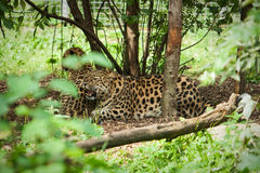 Wild amur leopard in open-air cage Royalty Free Stock Images