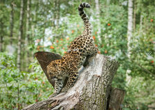 Wild amur leopard in open-air cage Stock Image