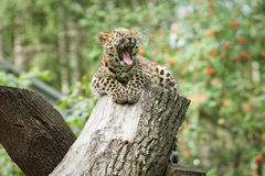 Wild amur leopard in open-air cage Stock Photo
