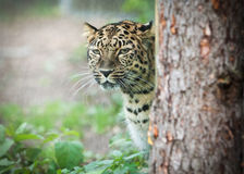 Wild amur leopard in open-air cage Stock Images